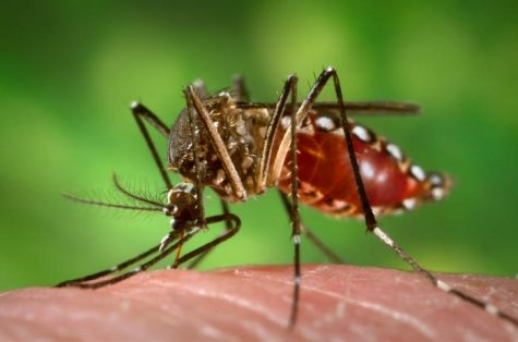 Known to be a carrier of Zika Virus and other diseases, an aedes aegypti mosquito sucks a human's blood.