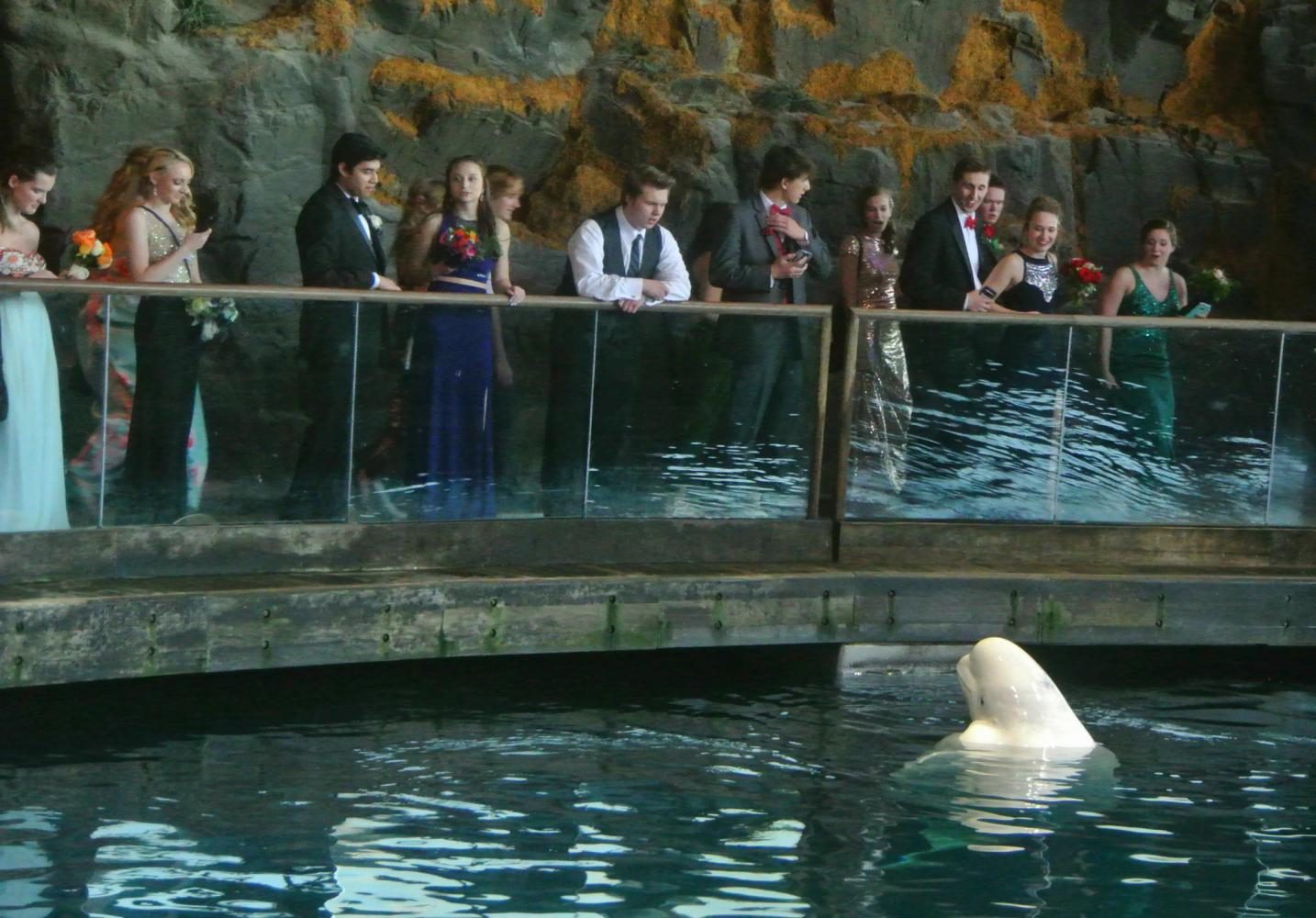 Shortly after entering the Shedd Aquarium, students stop to stare at one of the beluga whales in the pool.