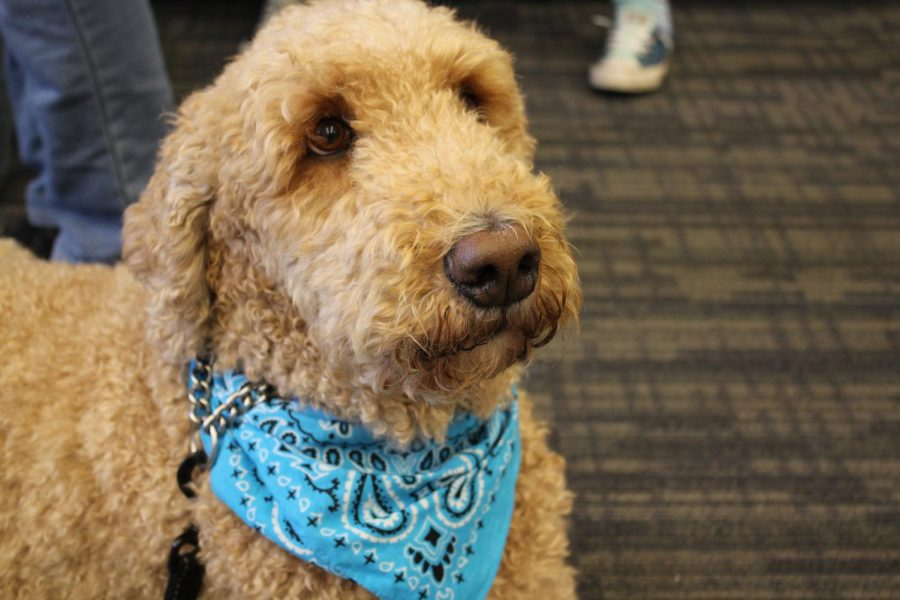 The VHHS therapy dog, Basil, has been at the school since the beginning of the year to provide emotional support to students and staff.