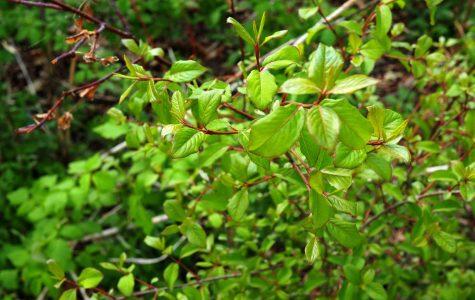 Blackhaw – Viburnum prunifolium – native