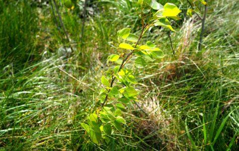 Quaking Aspen – Populus tremuloides – native