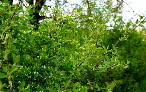 Autumn Olive – Elaeagnus umbellata – non-native