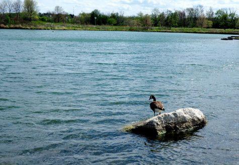 Canada Goose - Branta canadensis - native