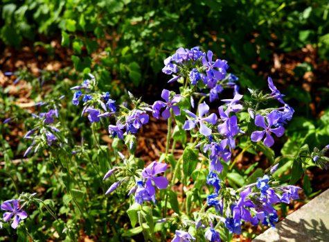 Woodland Phlox - Phlox divaricata - native